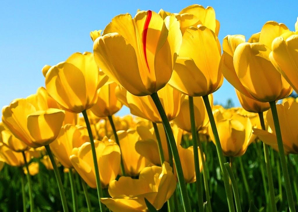 zolte_tulipany